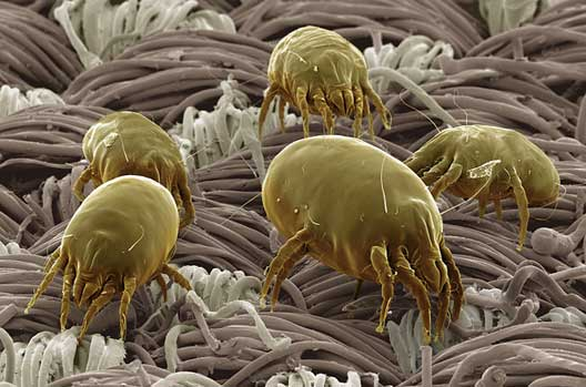 Dust Mites in the Bed